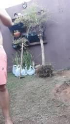 1 coqueiro e 5 moreias