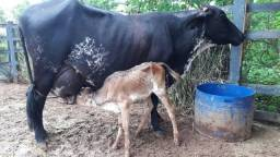 Vacas de leiteiras