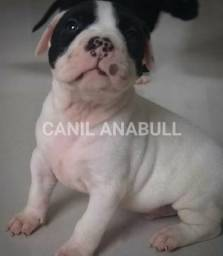 Canil AnaBull Recebe VC de Patas Abertas Filhotes American Bully - Pitbull