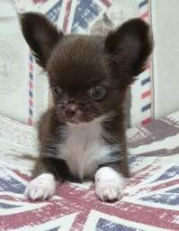 Lindos filhotes de Chihuahua Pêlo Longo