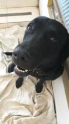 Doa-se Labrador Docil