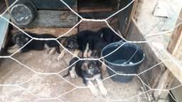 Filhote de cachorro da raça pastor alemão capa preta
