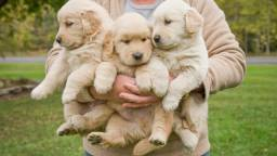 Golden retriever lindos aceito cartao