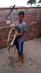 Labrador puro  ... 250 reais