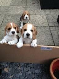Beagle recibo pedigree entrego hoje ainda