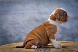 Filhotes Old Bulldog