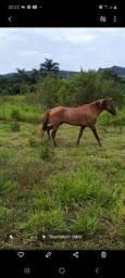 Cavalo mangalarga Garanhão registrado