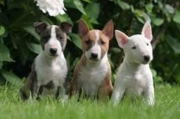 Bull terrier machos e fêmeas disponíveis entregamos em todas as regiões