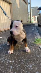 American Bully Pocket Macho
