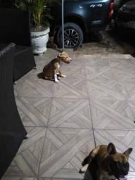 pitbull com 4 meses