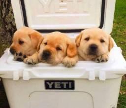 Belíssimos filhotes de Labrador