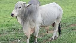 Vendo boi registrado