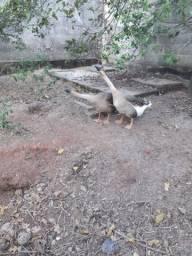 Ganso africano macho
