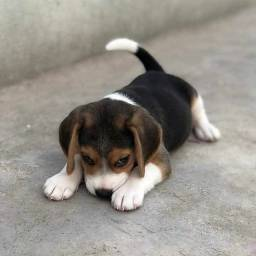 Beagle machinhos e fêmeas entregamos em todas regiões!
