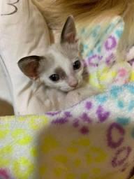 Doação de gata fêmea filhote
