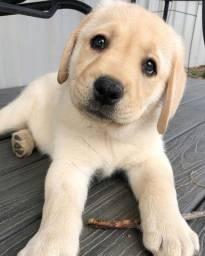Labrador chocolate/amarelo/preto, machos e fêmeas * Lauany