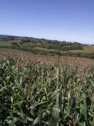 Vendo lavoura de milho para silagem!!