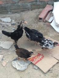 Pintos garnize,galo,galinha,