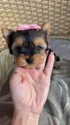 Y Yorkshire Terrier macho e fêmea