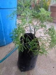 Título do anúncio: Planta: árvore da felicidade - fêmea