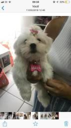 Vendo cachorrinha da raça Lhasa Apso!Com apenas 3 meses! Fone 84-88298008