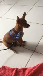 Pinscher macho no cio