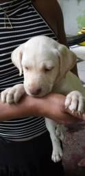 Labrador de olhos claros