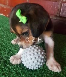 Beagle tricolor filhote. Com garantia, pedigree e recibo