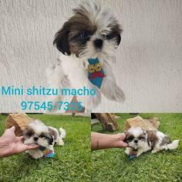 Mini shitzu filhotes promoção
