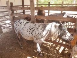 Vendo mini Boi, Pônei, mini vaca, cavalo manso, Carneiro, coelhos, veja na descrição.
