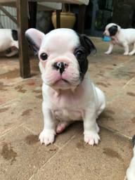 Bulldog Francês á pronta entrega