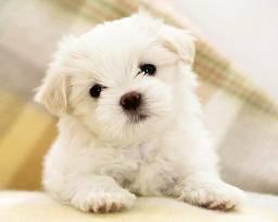 Poodle - Lindos filhotinhos com garantias!