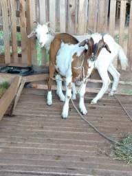 Vendo 2 cabras prenhas