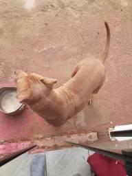 Vende-se ou troca se um cachorro pitbull