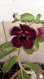 Rosa do deserto com anos