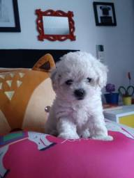 Poodle branca toy