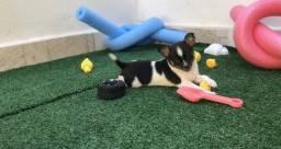 Chihuahua c/ pedigree * WhatsApp