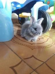 Vendo filhotes de mini coelhos