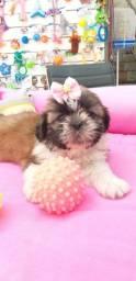 Linda Filhote de Shihtzu femea Disponivel hoje aqui no pet Shop Gold Dog