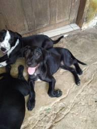 Filhotes de Pitbull com labrador