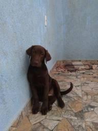 Título do anúncio: Labrador Fêmea já vacinada