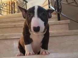 Filhotes de Bull Terrier disponível com garantia