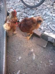 Vendo casal de galinha vermelha