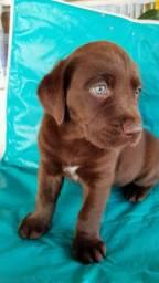 Lindos filhotinhos de de Labrador a pronta entrega com pedigree grátis