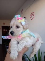 Poodle disponível