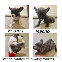 Vendo filhotes de Bulldog Frances