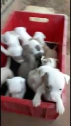 American Pitbull terrier lindos filhotes machos e femeas, aceito negociar