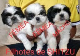 Filhotes de shitzu