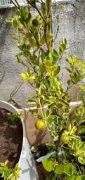 Limão imperial variegata com frutos