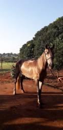 Cavalo Mangolino 5 anos